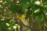 Paruline à ailes bleues (Blue-winged Warbler)