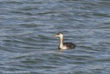 Grèbe jougris (Red-necked Grebe)