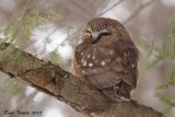 Petite Nyctale (Northern Saw-whet Owl)
