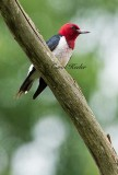 Red Headed Woodpecker Sitting
