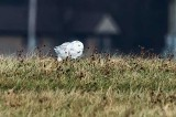Martin Rd. Snowy Owl Moving