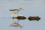 FOS Greater Yellowlegs