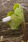 Leaning Bloodroot Bud