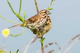 Song Sparrow and Baby
