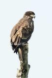 Watchful Immature Bald Eagle