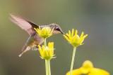 Young Hummingbird Eating