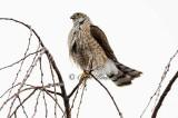 Wet Sharpshin Hawk