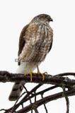 Watchful Sharpshin Hawk