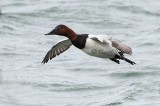 Gallery :Canvasbacks