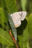 Acadian Hairstreak Butterfly