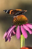 Red Admiral Wings Open