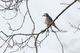 Northern Shrike on Tree
