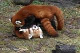 Rough Housing Red Pandas