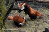 Red Panda Pounce