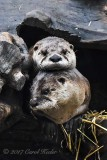 Otters Stacked