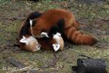 Red Panda Play