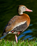 BLACK-BELLIED WHISTLING DUCK (Dendrocygna autumnalis)  IMG_3993