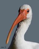 WHITE IBIS (Eudocimus albus) IMG_3997
