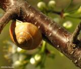 Snail on wild  plum