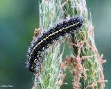 Confused haploa caterpillar (Haploa confusa), #8112