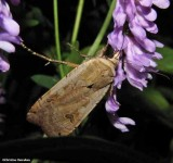 Large yellow underwing (Noctua pronuba)