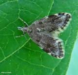Concealer Moth  (Eido trimaculella), #1068