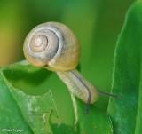 Snail  (Helicidae family)