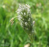 Meadow foxtail (Alopecurus pratensis)
