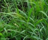 Panic grass (Panicum capillare)