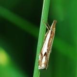 Double-banded grass-veneer moth (Crambus agitatellus). # 5362