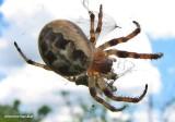 Furrow spider (Larinioides sp.)
