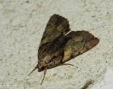 Charming Underwing  (Catocala blandula), #8867