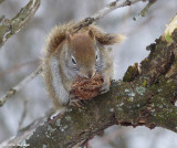 Red squirrel with walnut