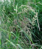 Great manna grass (Glyceria maxima)