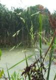 Rice-cut grass (Leersia oryzoides)