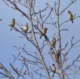 Waxwings of the FWG