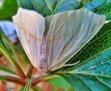 White slant-line moth  (Tetracis cachexiata) 6964