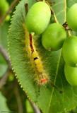 White-marked tussock caterpillar  (Orgyia leucostigma) #8316