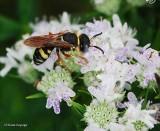 Bee wolf (Philanthus sp.)