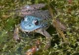 Northern Green frog  (Rana clamitans)