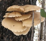 Possibly an oyster mushroom