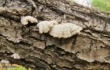 Split gill mushrooms (Schizophyllum commune)