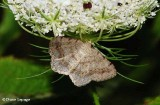 Faint-spotted angle moth (Digrammia ocellinata), #6836 moth