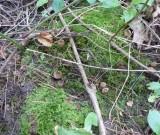 Sac fungus