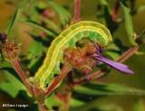 Black arches moth caterpillar (Melanchra assimilis), #10295