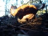 Large gilled mushroom