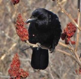 Crows and Jays of the FWG