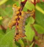 Red-humped caterpillar (Schizura concinna), #8010