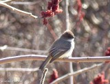 Flycatchers of the FWG