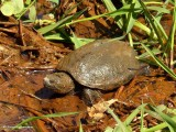 Snapping turtle (Chelydra serpentina)